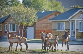 Elk in front of cabins Picmonkey
