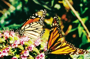 Monarch Butterflies SMALL 3068 mo00079 rgb l
