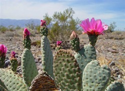 Death Valley Cactus with flowers Picmonkey