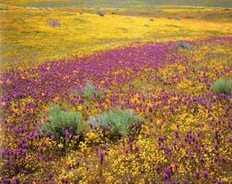 Death Valley Desert Flowers Picmonkey