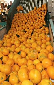 Mandarins in chute at packing shed Picmonkey