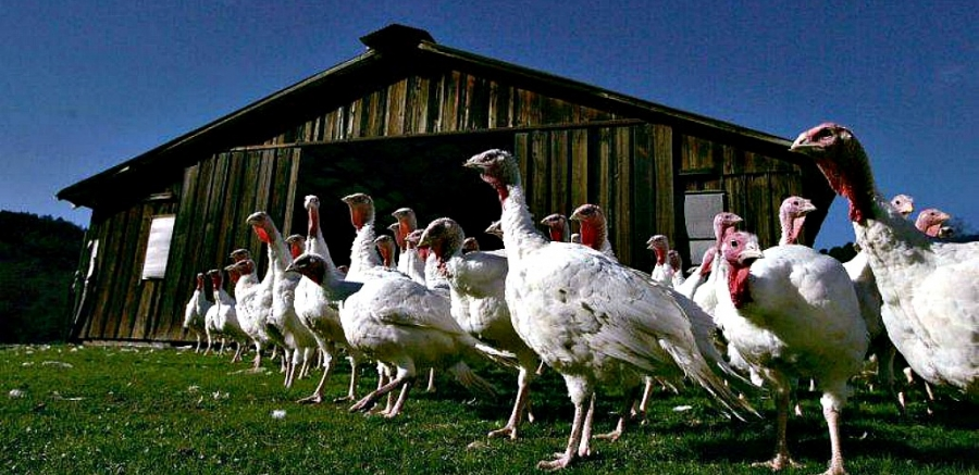 Free-range Willie Bird turkeys in Caifornia's Sonoma County