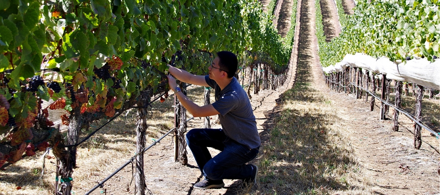 George Zhang checks the progress in his Pinot Noir vineyard