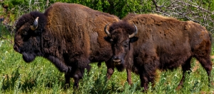 Would you believe that these guys (and their friends) live in San Francico? You'll find them in Golden Gate Park's Buffalo (Bison) Paddock