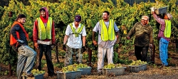 Experienced vineyard crews are key to a successful winegrape harvest .