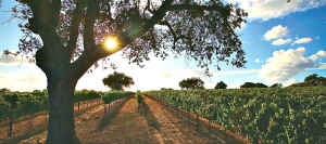 Morning sunshine illuminates a Fess Parker vineyard in the Foxen Canyon area of Santa Barbara County