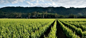 Famed Robert Mondavi To Kalon Vineyard at Oakville in the Napa Valley