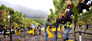 Pickers at Talley Vineyards move quickly as the dawn fog dissipates