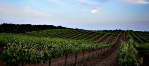 Rolling vineyards at Toca Madera are dedcated to diverse grape varieties suited to the climate