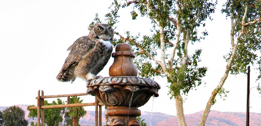 Owl rests at Coachella Wild Bird Center