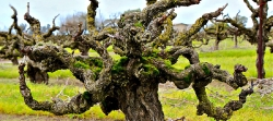 Gnarled vine at Soucie Vineyard in Lodi