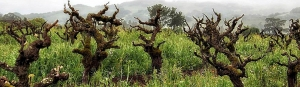 Old head pruned Zinfandel vines