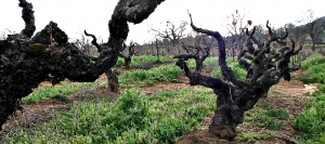 Gnarled vines in the Original Original Grandpère Vineyard have been producing beautiful Zinfandel wines for 150 years.