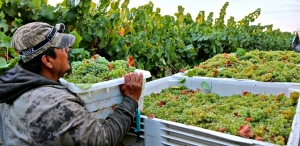 Silvaspoons first Verdeljo grapes of 2017 go into the macro-bin third week of August