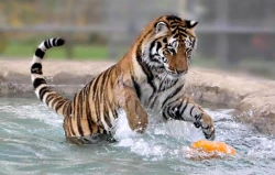 Claire pounces on a toy in one of the ponds at PAWS sanctuary in San Andreas