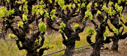 "Gnarled, ""head-trained"" Zinfandel vines that have been producing winegrapes in the Dry Creek Valley for over a century."