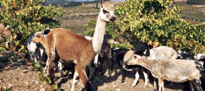 Sheep and their guardian llama improve the soil at the organically farmed Tablas Creek Vineyard in Paso Robles. .
