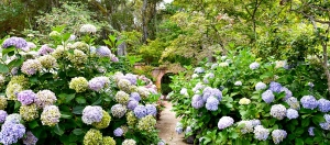 Hydrangeas flank the trail at Filoli
