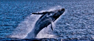 Specctacular photo of breaching whale courtesy of Condor Express