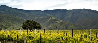 A Santa Lucia Highlands vineyard--so close to the Pacific Ocean, yet sheltered from it